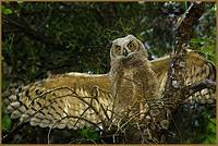 Great Horned Owlet (Seven Weeks)