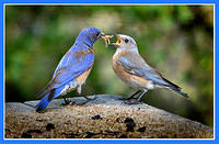 Breakfast Is Served! Western Bluebirds